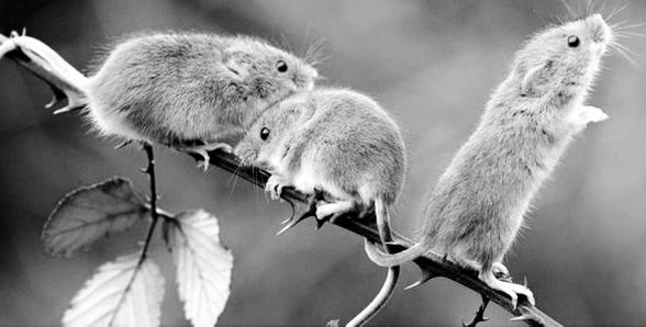 鼠年说鼠_老鼠-动物-门齿-豪猪-米老